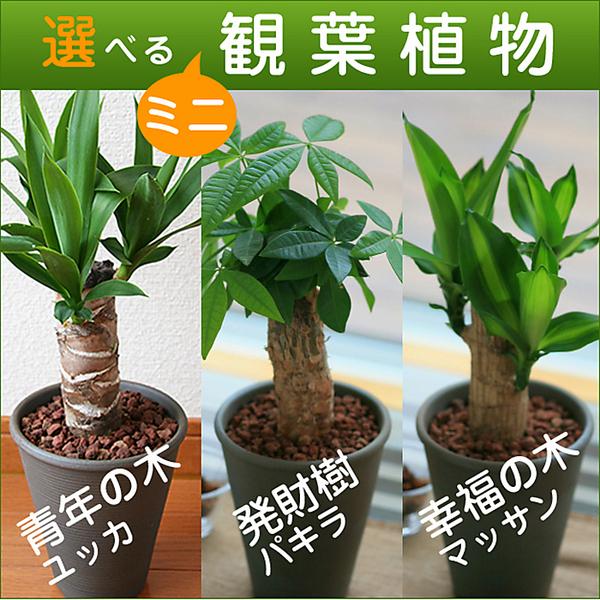 選べるミニ観葉植物4号陶器鉢【送料込】