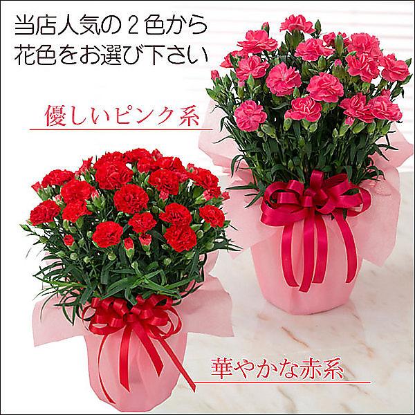 【母の日ギフト】選べるカーネーション鉢植え(赤)と絶品スイーツセット