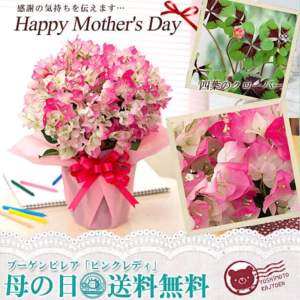 【母の日ギフト】ブーゲンビレア「ピンクレディ」鉢植えギフト