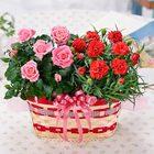 【母の日ギフト】カーネーションとバラの花かごセット鉢植えギフト(バラの花色おまかせ)