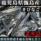 朝獲れ!!きびなご 生 冷凍便 鹿児島県 甑島産名物!!2キロ