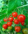 完熟トマトベリー1.5kg【送料無料】