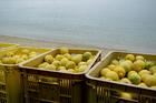 あびの島のレモン(2kg箱入り)