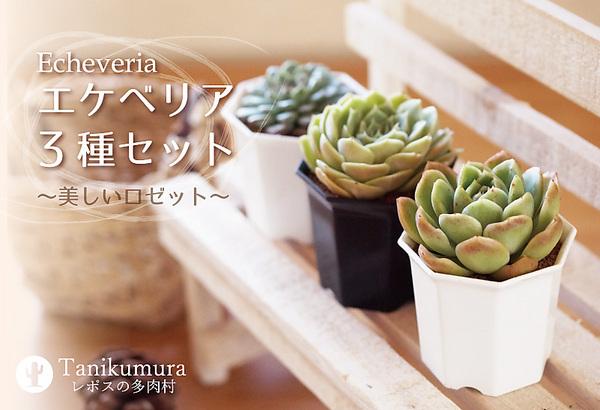 【多肉植物】まるでお花 エケベリア3種セット★手のひらサイズ インテリアグリーン