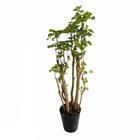観葉植物 ポリシャス※フェイクではありません/勢いのある立ち姿、お子様部屋にも!