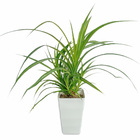 観葉植物 タコの木 7寸サイズ※フェイクではありません【希少種です】