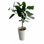 観葉植物 フィカス ベンガルシス※フェイクではありません/まとまり良く美しい姿