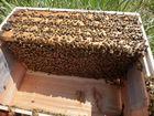 【送料無料】ミツバチ飼育種蜂4枚群 2021年4月中旬出荷予定