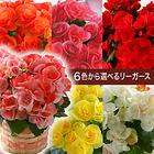 6色から選べるリーガース鉢植え【送料込】