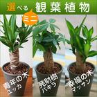 【送料無料】選べるミニ観葉植物4号陶器鉢【送料込】