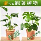 選べる観葉植物6号鉢【モンステラ】【オーガスタ】【送料込】