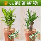 選べる観葉植物6号鉢【幸福の木マッサン】【青年の木ユッカ】【送料込】
