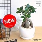 ガジュマル 幹太タイプ 白色大丸型陶器に植えた多幸の樹【送料無料】