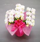 格調高い胡蝶蘭に化粧を施したミディ化粧蘭3本立