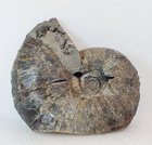 【ゴードリーセラス デンセプリカータム】北海道アンモナイト ・現在はシュウパロダム湖の湖底になっている産地の化石