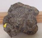【オウストラリエラ属の一種】北海道アンモナイト ・コリンニョニ科のあまり産出されない珍しい化石