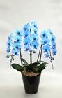 大輪胡蝶蘭 ブルーエレガンス 3本立 陶器鉢植え