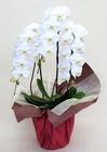 大輪胡蝶蘭 ホワイト3本立 30輪陶器鉢植え