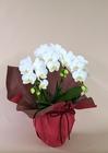 ミディ胡蝶蘭 ホワイト3本立 陶器鉢植え