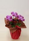 ミディ胡蝶蘭 ピンク系3本立 陶器鉢植え