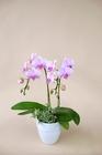 ミディ胡蝶蘭 ピンク系2本立 ヘデラ寄せ植え 陶器鉢