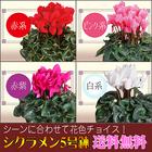 【送料無料】選べる花色 シクラメン 5号鉢 鉢植え