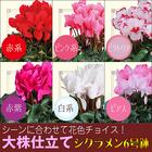 【送料無料】選べる花色 シクラメン大鉢 6号鉢 鉢植え