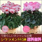 【送料無料】選べる花色 シクラメン5号鉢【ピアス・ビクトリア】鉢植え
