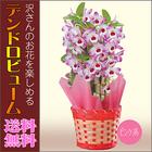 【送料無料】デンドロビューム 洋蘭 鉢植え