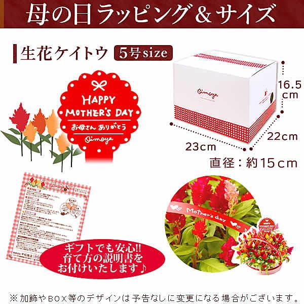 【送料無料】母の日 花 プレゼント生花 鉢植え 人気のケイトウ 送料込 フラワーギフト [店頭チラシ]