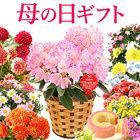 【送料無料】母の日2020 ギフト 選べる花とスイーツセット Dset【ベコニア ボリアス】 [MD]
