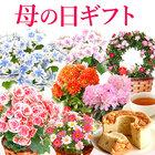 【送料無料】母の日 ギフト 選べる花とスイーツセットDset【ベコニア(ボリアス)】