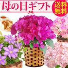 【送料無料】母の日 ギフト 選べる花とスイーツセットEset【ブーゲンビリア(ピンク)】