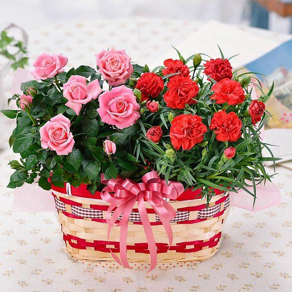【2018母の日ギフト】カーネーションとバラの花かごセット鉢植えギフト(バラの花色おまかせ)