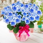 2021年 母の日 アジサイ鉢植え「コンペイトウ」ブルー【SE】