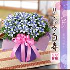 敬老の日 2021 プレゼント 選べる季節の鉢花 リンドウ白寿 鉢植えギフト 9月16日から20日にお届け