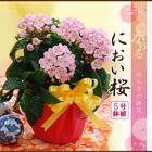 敬老の日 2021 プレゼント 選べる季節の鉢花 におい桜 鉢植えギフト 9月16日から20日にお届け