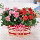 母の日ギフト カーネーションとバラの花かごセット鉢植えギフト(バラの花色おまかせ)【PM】