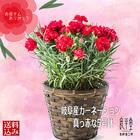 【非表示】母の日ギフト 真っ赤のカーネーション鉢植え(レッド)
