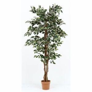 不二貿易 観葉植物フィカスB 高さ170cm
