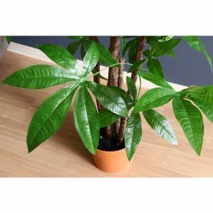 観葉植物 パキラ スタンダード グリーン